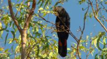 Red-Tailed Black-Cockatoo Feeds Up In Tree