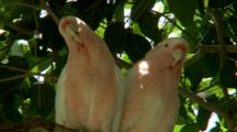 Major Mitchell's Cockatoos Rest In Tree