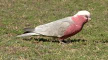 Galah Feeds On Grass