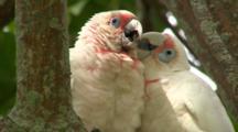 Pair Of Long-Billed Corellas Groom Each Other In Tree