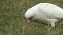 Long-Billed Corella Feeds In Grass