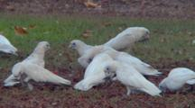 Little Corellas Feed In Grass