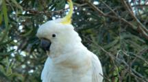 Sulphur-Crested Coockatoo Perched In Eucalypt Tree