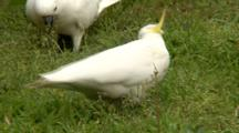 Sulphur-Crested Cockatoos Feed In Grass