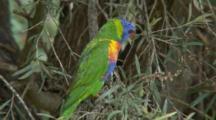 Rainbow Lorikeet (Moluccanus) Perched