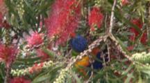 Rainbow Lorikeet Feeds On Bottlebrush Flower