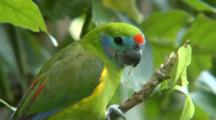 Double-Eye Fig-Parrot (F)  Feed