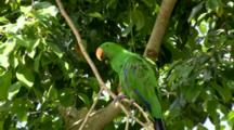 Male Eclectus Parrot Preens
