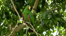 Male Eclectus Parrot Perched On Branch