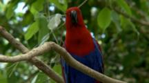 Female Eclectus Parrot Perched On Branch