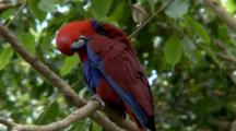 Female Eclectus Parrot Preening