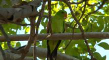 Red-Winged Parrot Perched