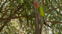 Princess Parrot Climbs Up Tree