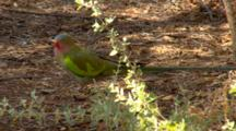 Princess Parrot  Rest