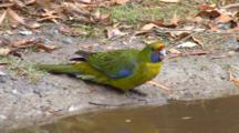 Green Rosella  Drinks
