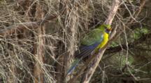 Green Rosella  Perched