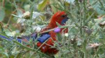 Crimson Rosella (Elegans) Feeds