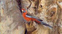 Crimson Rosella Perched On Tree Trunk