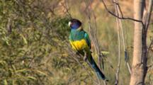 Australian Ringneck (Port Lincoln)  Perched
