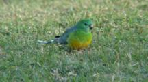 Red-Rumped Parrot Feeds On Grass