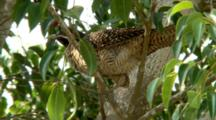 Female Asian Koel Perched In Tree