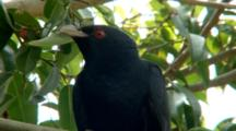Male Asian Koel Perched