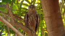 Barking Owl Perched