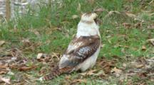 Laughing Kookaburra On The Ground, Flees