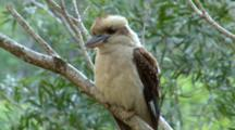 Laughing Kookaburra Perched On Branch, Preens