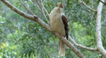 Laughing Kookaburra Perched On Branch