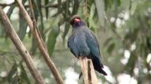 Dollarbird Perched on Branch