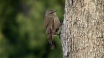 Brown Treecreeper Perched On Tree Trunk