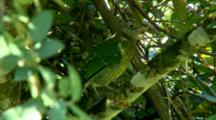 Green Catbird Perched In Tree, Turns Away