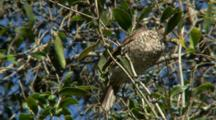 Green Catbird Perched In Tree