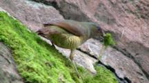 Female Satin Bowerbird Feeds On Insect