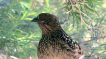 Western Bowerbird  Perched In Tree