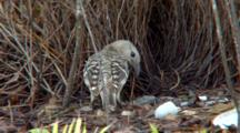 Great Bowerbird Displays In Front Of Elaborate Nest