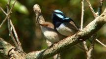 Superb Fairy-Wrens Mate