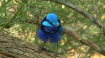 Splendid Fairy-Wren Preens In Tree