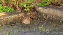 Rufous Bristlebird  Feed
