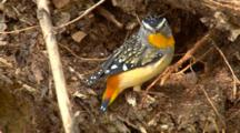 Spotted Pardalote Makes Nest