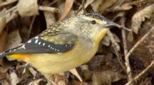 Spotted Pardalote Pair Makes Nest