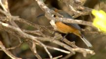 Eastern Spinebill Perched