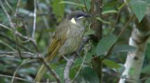 Lewin's Honeyeater Perched In Tree