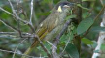 Lewin's Honeyeater Sings In Tree