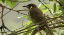 Yellow-Spotted Honeyeater Perched In Tree