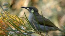 Graceful Honeyeater On Grevillea
