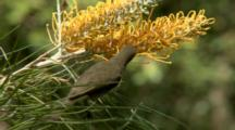 Graceful Honeyeater Feeds On Grevillea