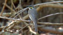 Yellow-Faced Honeyeater Perched