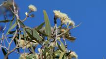 Singing Honeyeater Feeds On Eucalypt Flowers